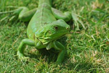 A Fantastic Look at a Green Iguana