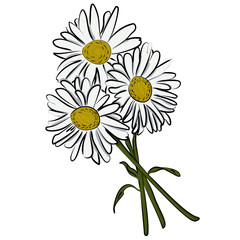 Vector illustration of camomile flower