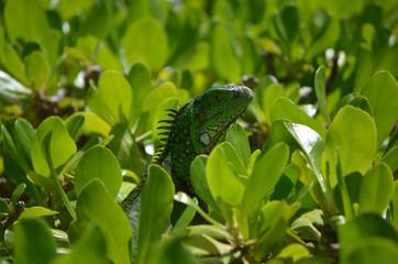 Green Common Iguana in a Shrub