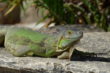 Sunning Green Iguana on a Rock Ledge