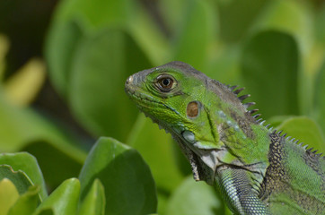 An Up Close Look at a Green Iguana