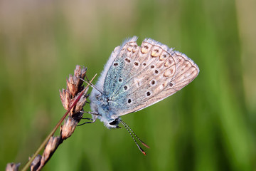 Plebejus idas, Idas Blue, is a butterfly in the family Lycaenidae. Beautiful butterfly sitting on stem.