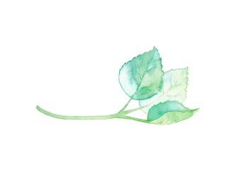 葉っぱ1種、若葉