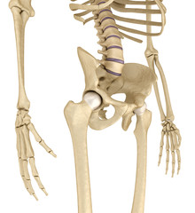 Human skeleton: pelvis and sacrum.  Isolated on white.  Medically accurate 3D illustration