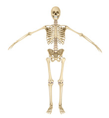 Human skeleton isolated , Medically accurate 3d illustration .