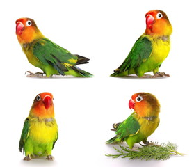 set lovebird isolated on white Agapornis fischeri, Fischer's Lovebird