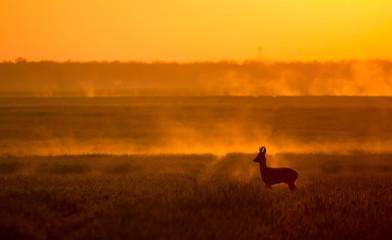 Roe deer buck in sunrise backlight