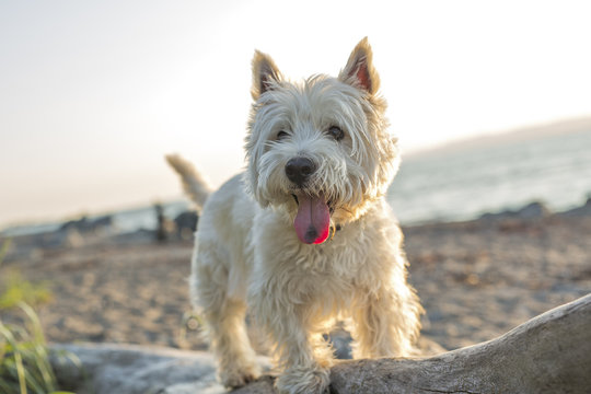west highland white terrier a very good looking dog