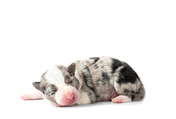 Blind puppy of border collie merle (five days old) isolated on white