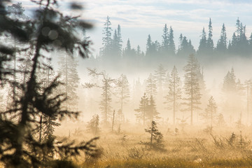 Fir trees in mist, Lapland, Finland, Europe