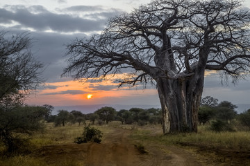 Baobab at Sunset, Tanzania