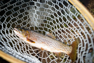 A brown trout in a fishing net