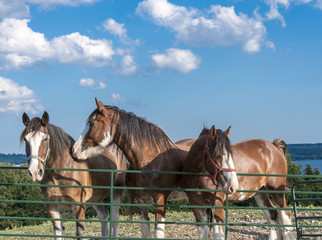 clydesdale horses standing near metal gate