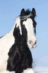 Portrait of nice gypsy horse