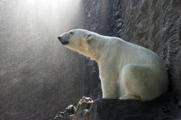 Polar Bear - Ursus maritimus