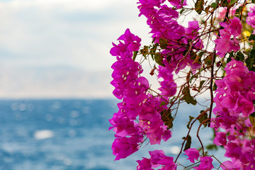 Bougainvillea from Greece