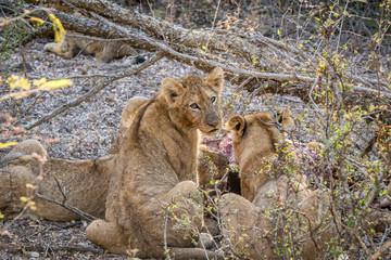 Lion cub looking back at a Buffalo kill.