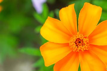bright and beautiful marigold