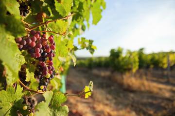 Lumière sur la vigne dans le Layon