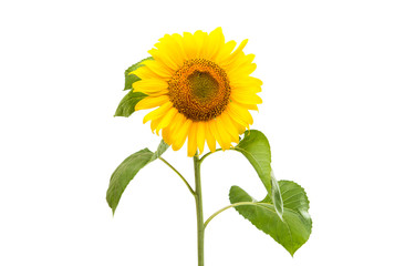 Flower of sunflower isolated