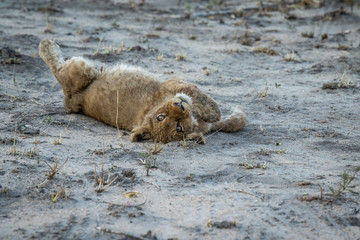 Lion cub rolling in the sand.