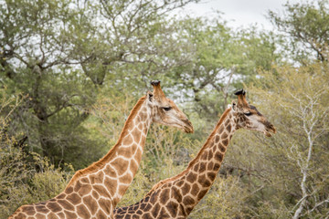 Two Giraffes in the Kruger.