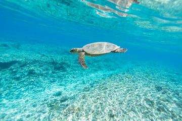 Sea Turtle (Hawksbill Turtle - Eretmochelys imbricata) swims in turquoise blue water of Indian ocean, Maldives. Underwater photography.