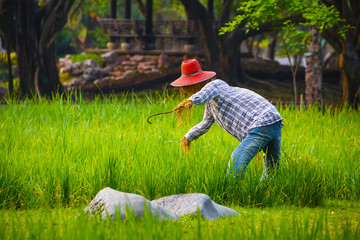 Scarecrow in a Thai Rice Field
