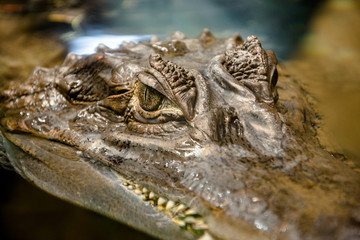 Spectacled caiman in an aquarium close up shot