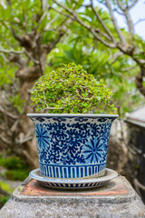 bonsai,Siamese rough bush in the porcelain pots