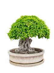 Bonsai tree elegant in vase isolated on white background