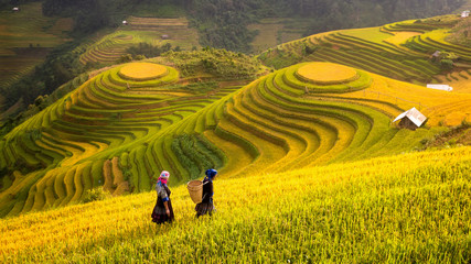 Wall Murals Rice fields Vietnam. Rice fields prepare the harvest at Northwest Vietnam