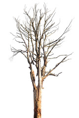 Dead tree or dry tree isolated on white background with clipping path.