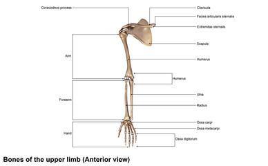 Bones of the upper limb (Anterior view)