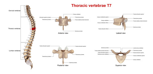 Thoracic vertebrae T7_With Lables
