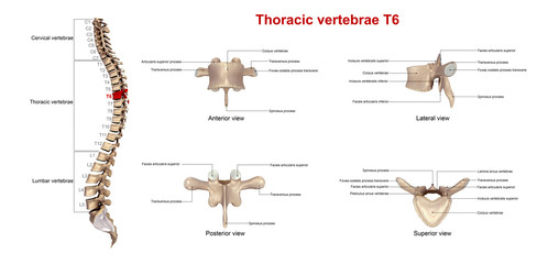 Thoracic vertebrae T6_With Lables