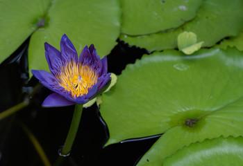 The beautiful pink lotus flower