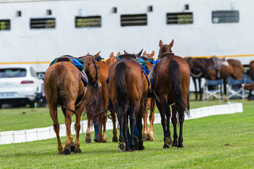 Polo Horse Ponies ready for equestrian game action