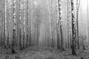 birch forest, black-white photo, autumn landscape
