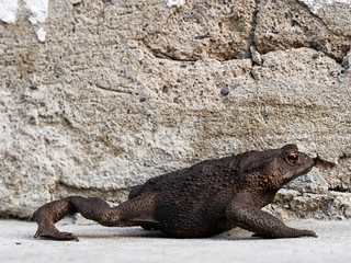 Toad taking a stroll. Bufo bufo.