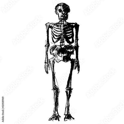 Zeichnung eines menschlichen Skeletts / seitlich, schwarz-weiß ...