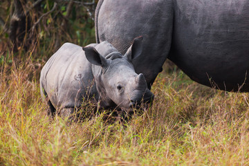 Rhino calf with mum