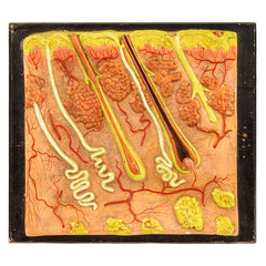 Vintage education model of human skin with hair follicles