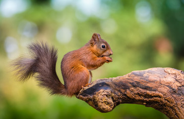 Red squirrel in The County of Northumberland, England Wall mural