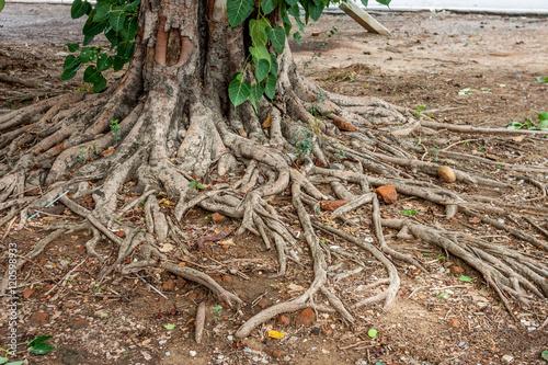 Racine d 39 arbre racine d 39 arbre l 39 le de la r union - Arbre a faible racine ...