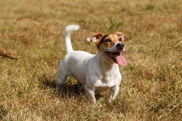 Jack Russell Terrier dog waiting for a command
