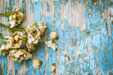 Faded roses on an old painted wooden background