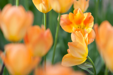 Foto auf Gartenposter Tulpen Meadow of orange tulips