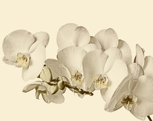 Branch of white orchids on a white background