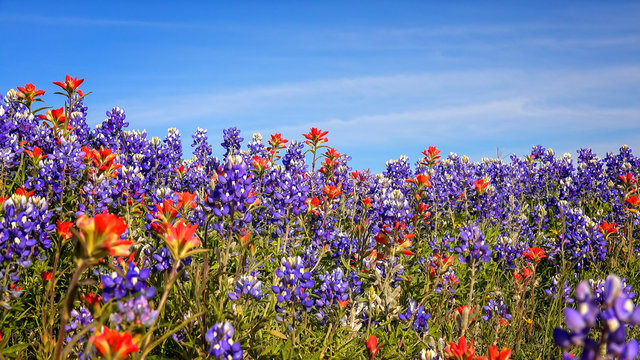 Field of Texas Spring Wildflowers - bluebonnets and indian paint